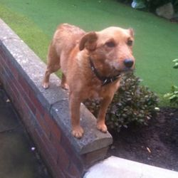 Lost dog on 02 May 2014 in Dublin . LOST since Friday 2nd May  around the Ballinteer area Dublin 16. Female, Small light brown Rack Russel X Terrier. Shy and Frindly goes by the name of Buffy and is wearing a red collar with no name tag or number and is not micro chipped.