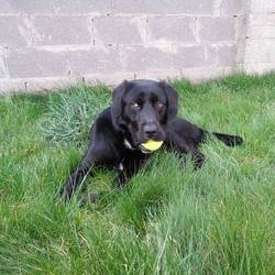 Lost dog on 02 May 2014 in Kildare Town. Black Male Labrador name Castor missing on friday 2 of May from the Loughminane Green area. Hi wears a black collar and piece of leash. White area under neck, white spot on rear paw. Hi�s a family dog, very friendly!
