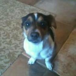Lost dog on 02 Nov 2012 in Dublin North. 2 year old Female Jack Russell Missing since Friday 2nd November in Finglas area. She is tri-colour although predominantly white and black. She is small and very affectionate. We are desperate to get her back!