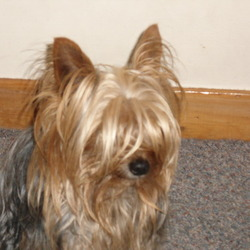 Lost dog on 02 Oct 2012 in Galway/ Rahoon. a small male yorki dog is gone missing pleas contact 0857422340 has blond hair around his legs and heads black around his body he is very very very missedplease please please contact me 0857422340
