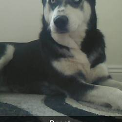 Lost dog on 03 Apr 2016 in Rialto / Crumlin . 9 Year old Husky - Kia, lost in the Rialto / Crumlin area of Dublin Sunday 03rd of April please contact: 0851008141