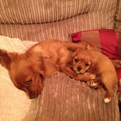 Lost dog on 03 Jan 2013 in BOSTON/KINVARA, CO.CLARE. MAISIE AND MILLIE WENT MISSING ON THE 3RD JANUARY 13� FROM NORTH CLARE.MAISIE IS A 3YR OLD COCKER BREED.MILLIE IS HER 5 MONTH OLD PUP.THEY ARE A VERY IMPORTANT PART OF OUR FAMILY.IF YOU HAVE SEEN THEM PLEASE, PLEASE CONTACT;