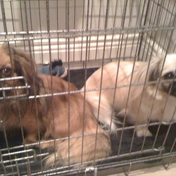 Lost dog on 03 Jan 2013 in Killenny. 2 lost female Pekingese/ chihuahua cross dogs. One is cream and answers to Daisy, the other is dark brown and answers to poppy. They are both wearing pink collars. From the Thomastown area in Kilkenny . Please call on 0877754976