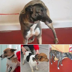 Lost dog on 03 Jul 2014 in CORK. STOLEN please contact Garda Station in Blackrock if you have been offered these dogs. ref to https://www.facebook.com/RehomeUs?fref=nf