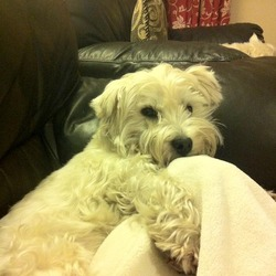 Lost dog on 03 Jul 2014 in Templeogue. Male West Highland Terrier lost in Templeogue area of Dublin near Springfield Avenue, close to Rathfarnham shopping centre and Bushy Park. About 4 years old. Dog is chipped and neutered. Reward offered for safe return!