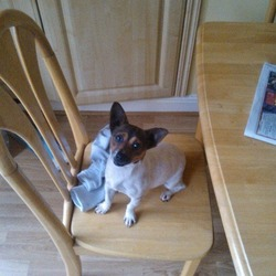 Lost dog on 03 Jun 2013 in Finglas. Female, miniature jack Russell, very friendly went missing from home. No collar, not neutered.
