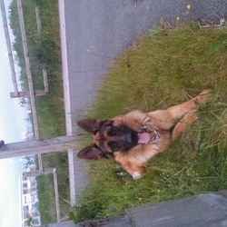 Lost dog on 03 Jun 2014 in tyrrelstown. dated 06/03/2014 about 2-3 pm, in the territory of Tyrrelstown missing 10 m dog, a German shepherd. had on a red collars. if anyone saw, heard ... please contact us at pet waits 5 year old little boy: (0858107232