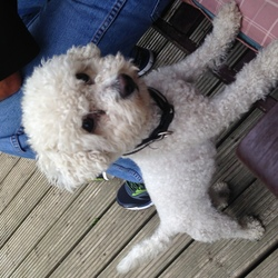 Lost dog on 03 Jun 2015 in Sallins co.kildare. White bichon frise that answers to the name Ziggy