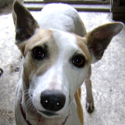 Lost dog on 03 Mar 2012 in Athy, Co.Kildare. Lost from Forest Farm Campsite on Saturday 3rd March 2012. He is white with brown markings. A whippet type dog with brown leather collar and tags. He is micro chipped to Dogs Aid Animal Sanctuary. He is called Shilo and is very timid and shy. Contact Siobhan Owens 086 3218132