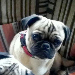 Lost dog on 03 Mar 2012 in Cabra Road, Dublni. Mush is a half Pug only 9 months old.  Long body and tail. Brown in colour. Wearing a red collar. Went missing from Cabra Road. Reward for return. Call 085 1216591 or 086 2556695
