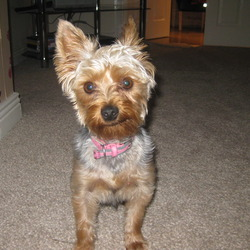 Lost dog on 03 Mar 2012 in ratoath co meath. yorkshire terrier lost in ratoath co meath.she has a tan face and legs and a grey back.17 months old. realy missed by the kids. reward offered 0876530219