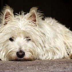 Lost dog on 03 May 2014 in Dundrum, Dublin 14. 15 year old West Highland Terrier