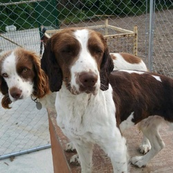 Lost dog on 03 Nov 2015 in Newcastle Co Wicklow. 2  Springers 1 male 1 female. Both microchipped