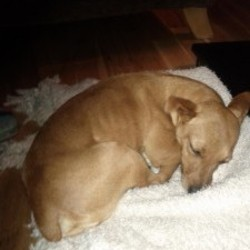 Lost dog on 03 Oct 2011 in East Cork ,Midleton/Glounthaune. Small Terrier, Light Golden Brown, White Marking on Chest, Age 8, Neutered, Collar may have fallen off. Called Fudge. Last seen around the Ballinacura/Midleton area, Cork.