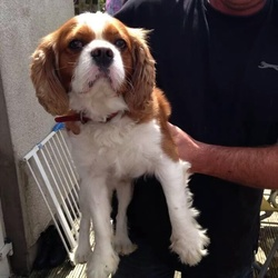 Lost dog on 03 Sep 2014 in Drimnagh . King Charles Spaniel, male 