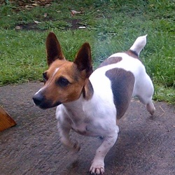Lost dog on 03 Sep 2014 in Swords. Lost female jack russell in swords area. Please contact 0867305841 if found. thanks.