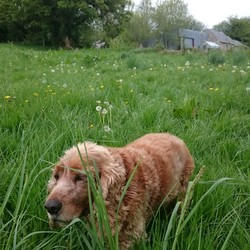 Lost dog on 03 Sep 2016 in Dun Laoghaire. Old golden cocker spaniel called Arthur lost. Last seen approx 8pm near Sussex Street, Dun Laoghaire on Saturday 3 September. If found please ring 0868240658