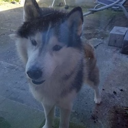 Lost dog on 04 Apr 2017 in Santry. 3 Year old male, lost from Santry area, name Nelson, please phone Jamie on 087 97 00 313