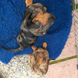 Lost dog on 04 Apr 2017 in South Laois. Minature smooth dachshunds