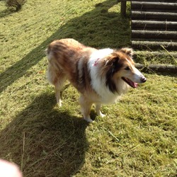 Lost dog on 04 Dec 2013 in Dublin. MISSING, Brown/white border Collie.