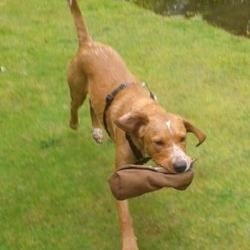 Lost dog on 04 Feb 2013 in Brittas Bay beach, Wicklow. Young red Lab/Cocker cross. One year old, male. Very friendly and extremely bouncy. Has collar with tag but incorrect (UK) phone number. Lost Brittas Bay beach. Extremely anxious to get him back safe.