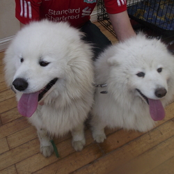 Lost dog on 04 Feb 2013 in Malahide. Two Samoyed found on near the Dublin Meath Boarder on the 30th of January plz contact 0851752949