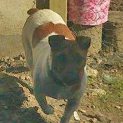Lost dog on 04 Feb 2014 in Ardfert, Co.Kerry. Male Jack Russell missing since 4/02/14. Tan and white in color with black around nose.