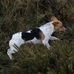 Lost dog on 04 Feb 2015 in Saggart. Jack Russell/Beagle cross Female  Philip 0871706565