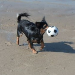 Lost dog on 04 Jan 2014 in Ongar, Dublin 15. Black and Brown Female Chihuahua missing, last seen on 04/01/2014 at 10 am in Ongar Area, Dublin 15. Please call on 0851027666
