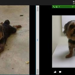Lost dog on 04 Jul 2014 in jonesboro ar . This is BearBear , abt 10lbs 7/4/14. He is a yorki/shitz tzu mix. Male not neutered.6 years old. Reward for his return no questions asked
