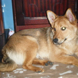 Lost dog on 04 Jun 2012 in Shantalla. Family Pet, Tanned Terrier  Aprox 1 year old, wearing a blue colar