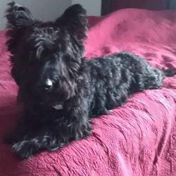 Lost dog on 04 Mar 0016 in Kinsey MT Miles City MT. Has anyone seen a black male Scottish Terrier, Woulvgang