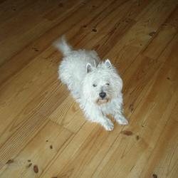 Lost dog on 04 Mar 2013 in Blarney, Co. Cork, Ireland. 6 Year old, white west island terrier by the name of Sammy!  Hi Everyone, this is my nephews little Sammy who is missing from Station Road, Blarney, Cork City, Ireland since Monday 4th March, If anyone sees him contact Dane on 085 759 3679 or Vanessa on 087 993 0004 or Myself Aaron on 087 630 7006