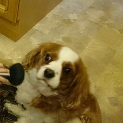 Lost dog on 04 Mar 2014 in Old Bawn Tallaght. Cavalier King Charles Male answers to name of Charley. Very friendly. Owners very anxious to be reunited