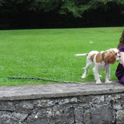 Lost dog on 04 Mar 2017 in Menlough, Co. Galway. Polly is our treasured King Charles, she has been missing from the Menlough area in Co. Galway since Saturday 4th March. She is brown and white in colour with a very timid nature. She is 5 years old. Polly wasn't wearing her collar at the time. We are desperate to get Polly home. Reward offered.