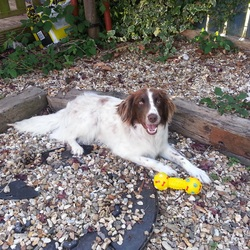 Lost dog on 04 Sep 2014 in Dublin 24. Lost dog English Springer Spaniel in Kiltipper Tallaght Dublin 24.Please call 0851693456 Microchip number 972270000241418 Name DJ Colour Brown and white.Very friendly dog male.