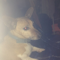 Lost dog on 05 Apr 2015 in Faugheen, Carrick-on-Suir, Co. Tipperary. male jack russell, 7 years old, reddish brown (orange) and white in colour and wearing a blue collar