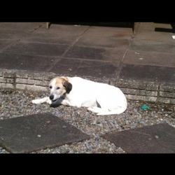 Lost dog on 05 Aug 2013 in balbriggan. sandy went missing on the 5 aug from the flemington, balscadden area in dublin. she is missed terribly by our family and we really want to get her back