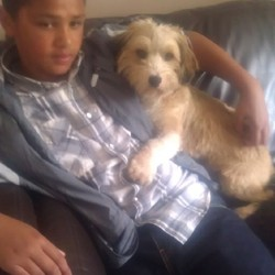 Lost dog on 05 Aug 2013 in Donnycarney, Dublin. 2 Years old.Half Shih Tsu half Terrier. reddish blonde, Hairy, along tail with white tip, Floppy ears