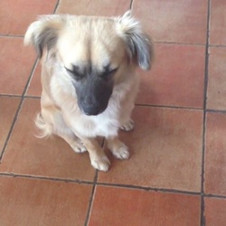 Lost dog on 05 Aug 2015 in Naas, Co Kildare. Lost brownish off-white Chion. He was accidentally let out this morning and ran away. His name is Echo but sometimes doesn't respond to it. He had just turned one year old. He was last seen around Naas, more specifically, around Craddockstown. 