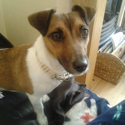 Lost dog on 05 Dec 2014 in Clondalkin. Much loved family pet got out this evening in the Hazel Wood/Greenpark area.