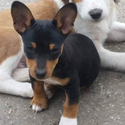 Lost dog on 05 Dec 2017 in Newmarket on Fergus, Co. Clare. Black and Tan JRT pup (10 months) missing from Newmarket on Fergus since 5th December 2017. He isn't microchipped. 4 white paws and full tail
