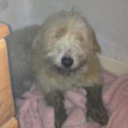 Lost dog on 05 Feb 2013 in cherrywood. little old lost dog? she's 13, been missing from Cherrywood, Clondalkin since yesterday. She's sandy coloured, chipped and her front legs are turned inwards a bit.