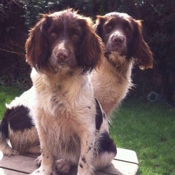 Lost dog on 05 Feb 2016 in Cork. MISSING our two spaniels from cork (Bandon/ Kinsale area)