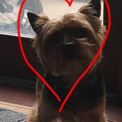 Lost dog on 05 Feb 2018 in Ballymun . Yorkshire terrier,name Snoopy,Golden and black,10 years old,