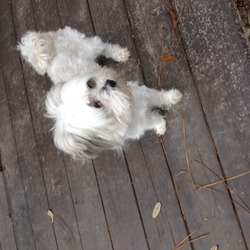 Lost dog on 05 Jan 2014 in River Ridge, Louisiana. White, small and perky little guy walked into my backyard this morning in River Ridge, La will be taking to SPCA Orleans Parish, Jefferson Parish is closed today
