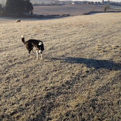 Lost dog on 05 Jan 2015 in Dromin, Dunleer, Co Louth. Black and White Collie Dog