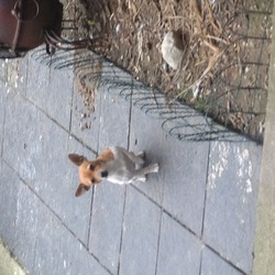 Lost dog on 05 Mar 2013 in clondalkin 22. miniture jack russel white and brown