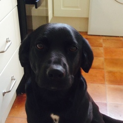 Lost dog on 05 May 2015 in Doughiska, Galway . Small black (and white) lab springer cross, female