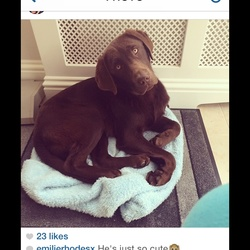 Lost dog on 05 Nov 2014 in Finnstown lucan . Chocolate Labrador microchipped yellow eyes last found in Arthur Griffith park finnstown lucan brown collar if found please ring dublin SPCA